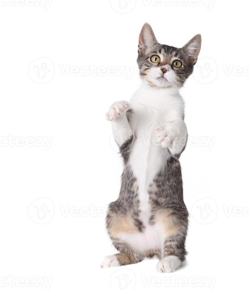 piccolo gattino in piedi sulle zampe posteriori foto