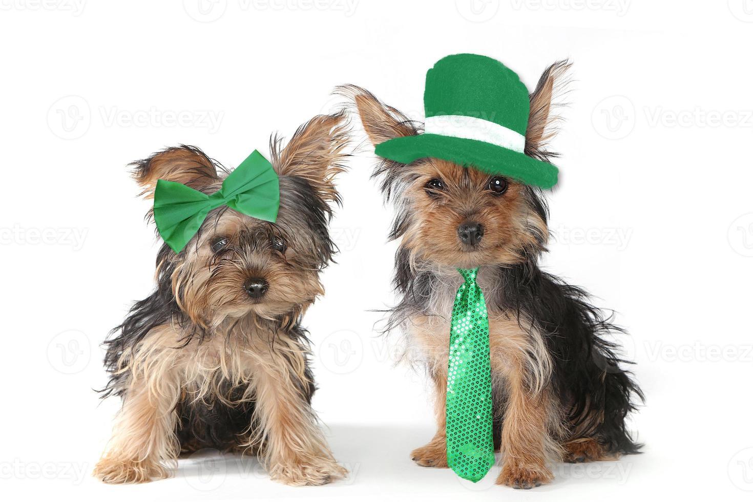 cuccioli di yorkshire terrier che celebrano il giorno di san patrizio foto