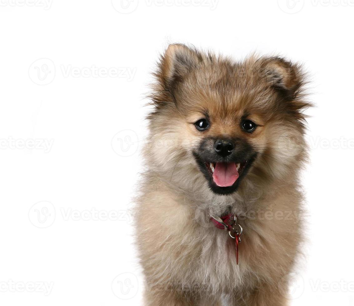 simpatico cucciolo di pomerania su sfondo bianco foto