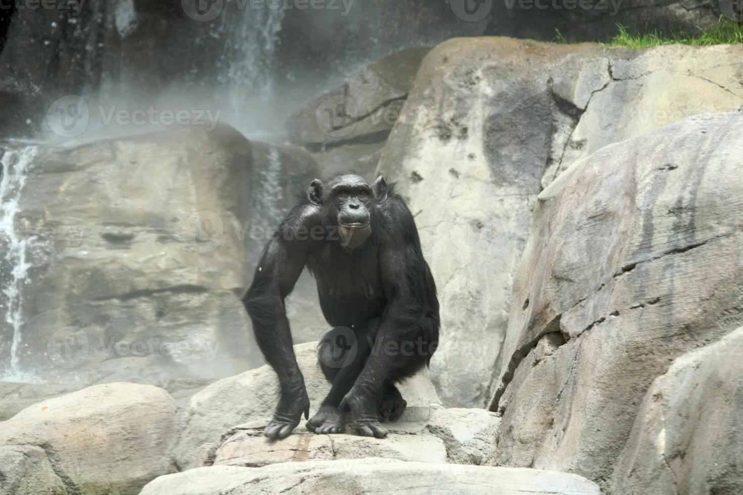 scimpanzé sulle rocce foto