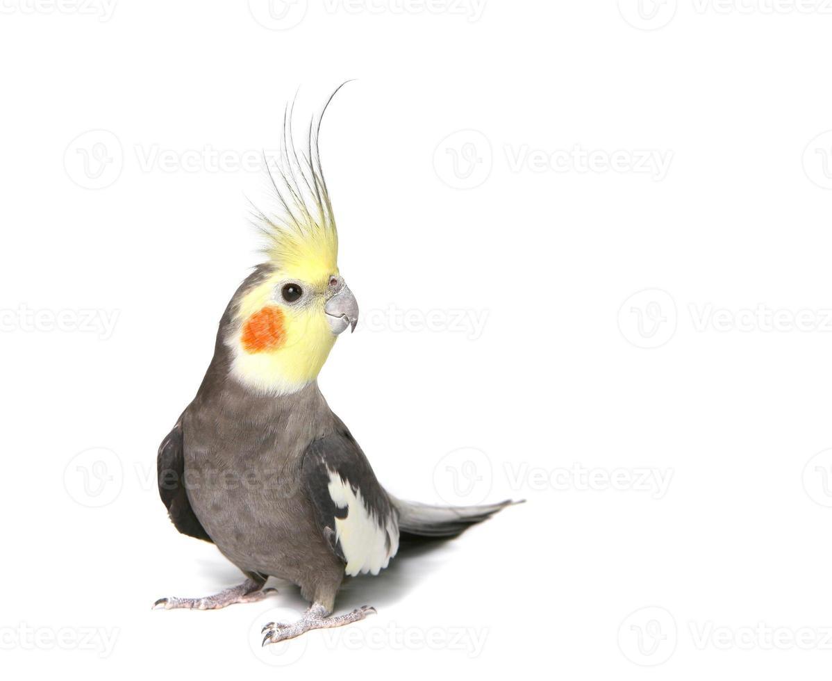cockatiel curioso grigio isolato foto