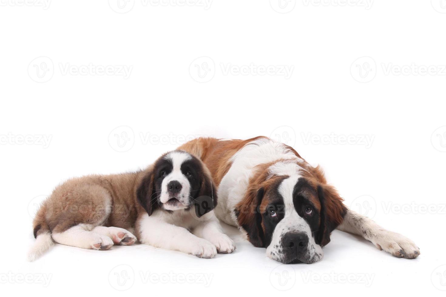 due amorevoli cuccioli di san bernardo insieme su sfondo bianco foto
