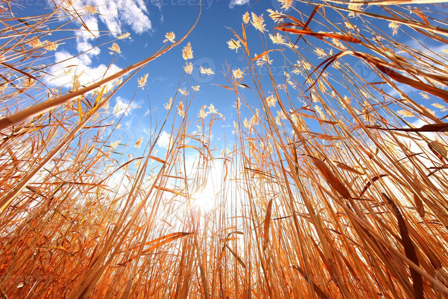 erba di grano all'aperto in una giornata di sole foto