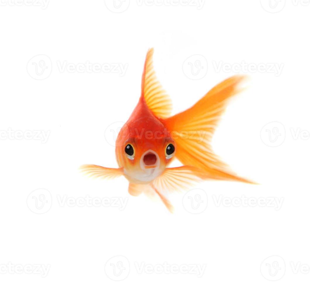 pesce rosso scioccato isolato su sfondo bianco foto