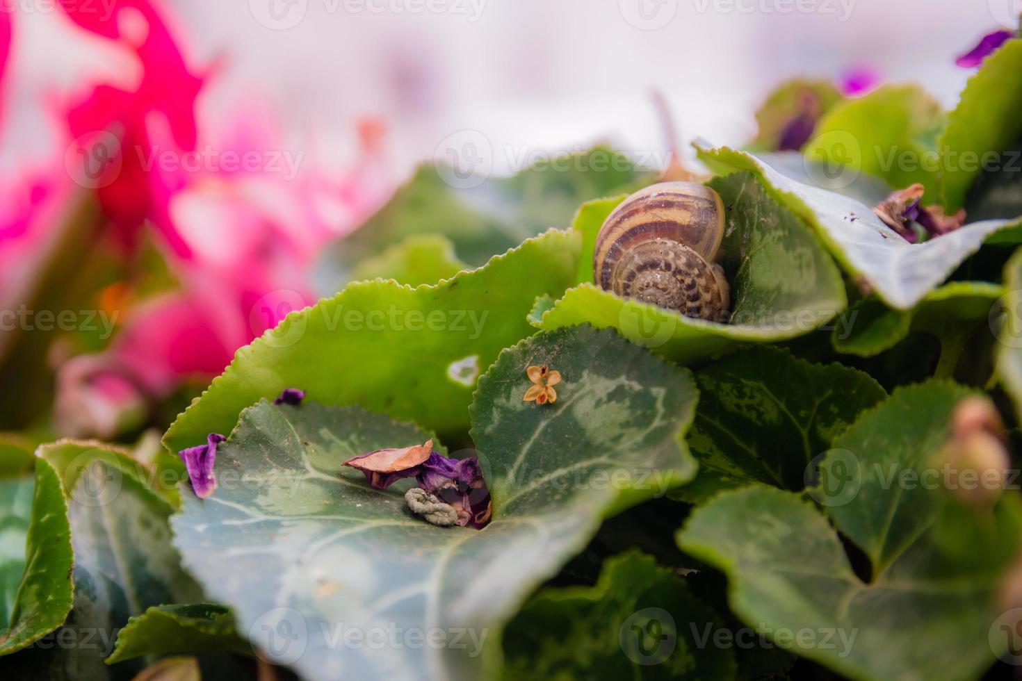 Vuoto guscio di lumaca su una foglia di ciclamino al giardino foto