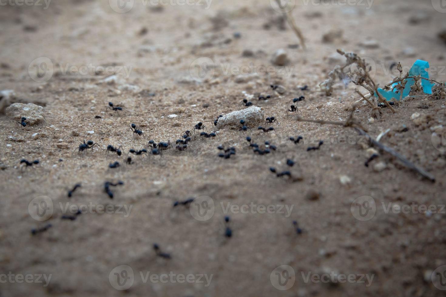 primo piano di un gruppo di formiche nere che camminano sulla terra foto
