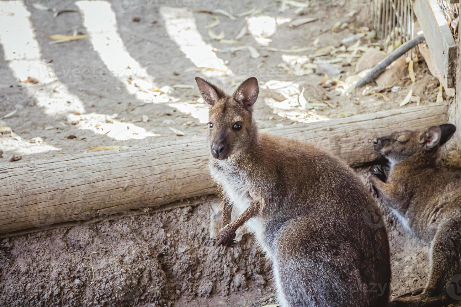 wallaby dal collo rosso allo zoo foto
