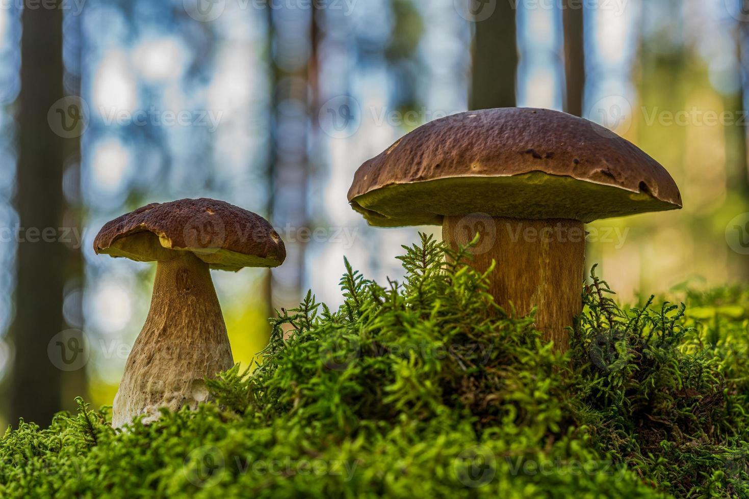 coppia di funghi porcini foto