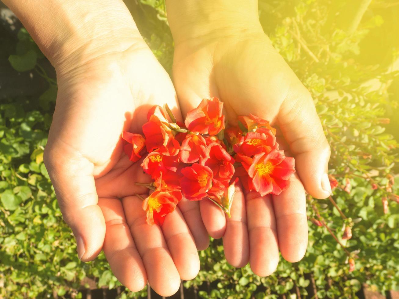 una donna tiene un fiore di portulaca rosso nel palmo sotto un romantico effetto di luce del tramonto. concetto di design per sostenere la cura ed ecologico foto