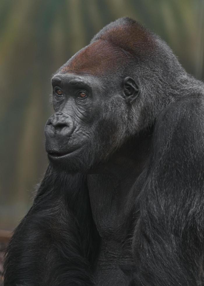 gorilla occidentale che riposa foto