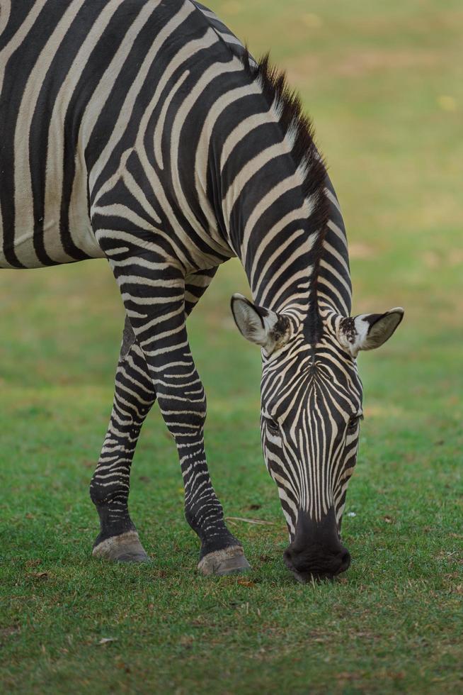 zebra delle pianure che mangia erba foto