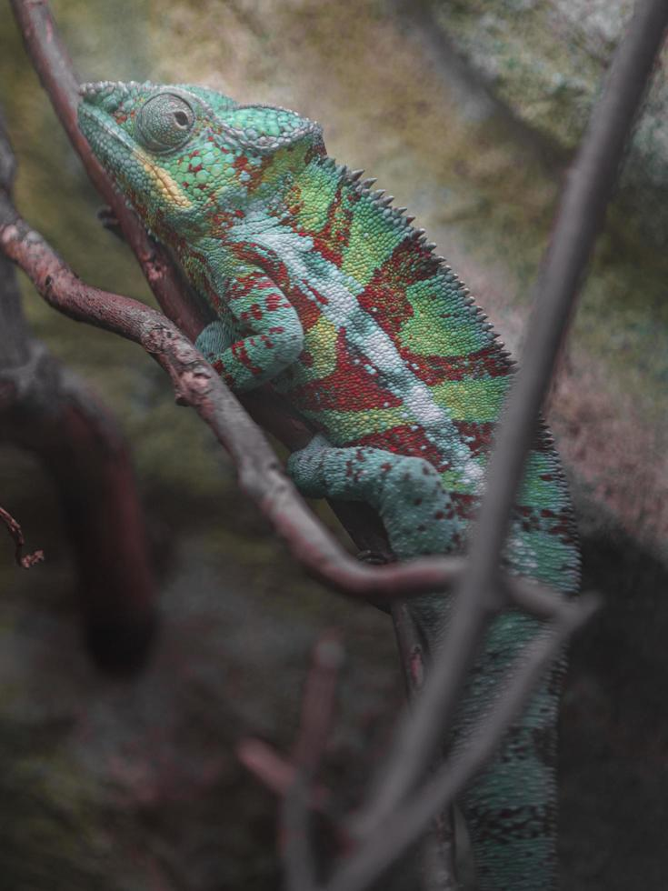 camaleonte pantera sul ramo foto