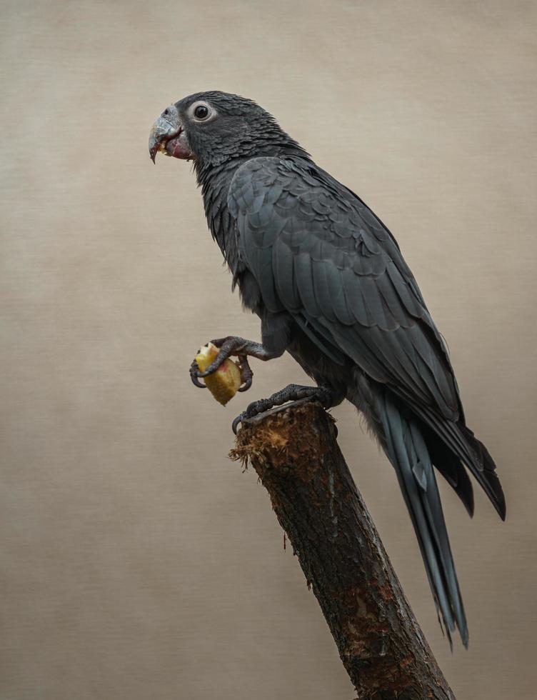 pappagallo vasa maggiore foto