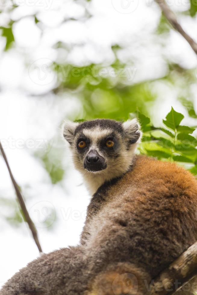 ritratto marrone delle lemure catta in Madagascar foto