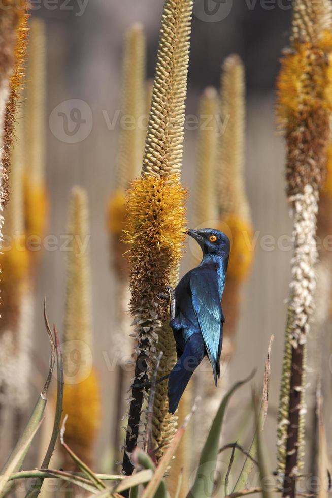 fiori di aloe e storno lucido nel parco kruger sud africa foto