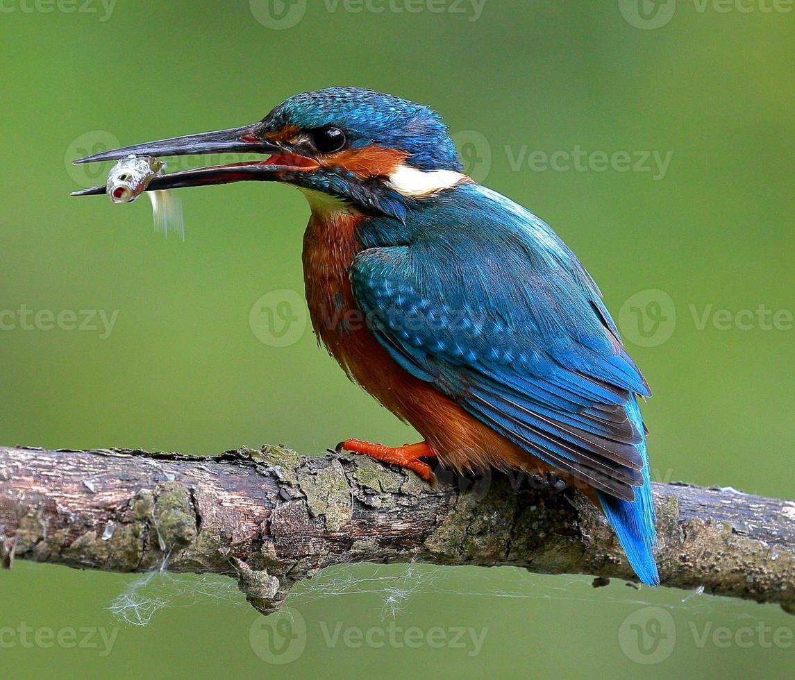 martin pescatore con pesciolino foto
