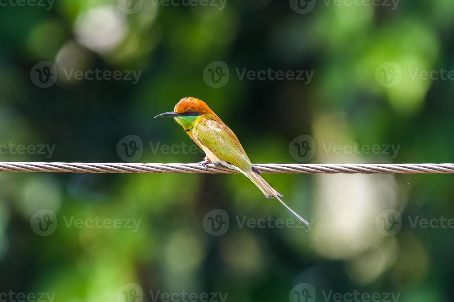 vivido uccello mangiatore di api foto