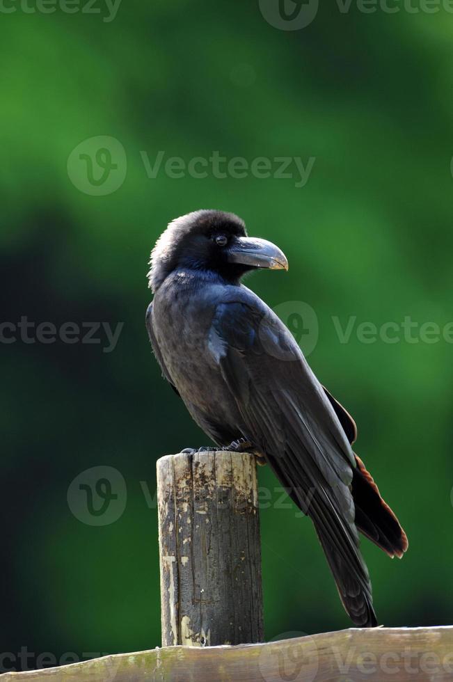 corvo foto