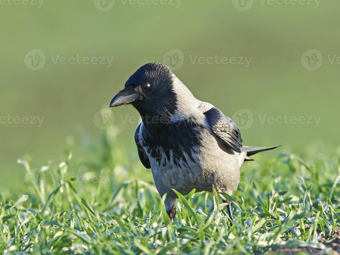 corvo incappucciato (corvus cornix) foto