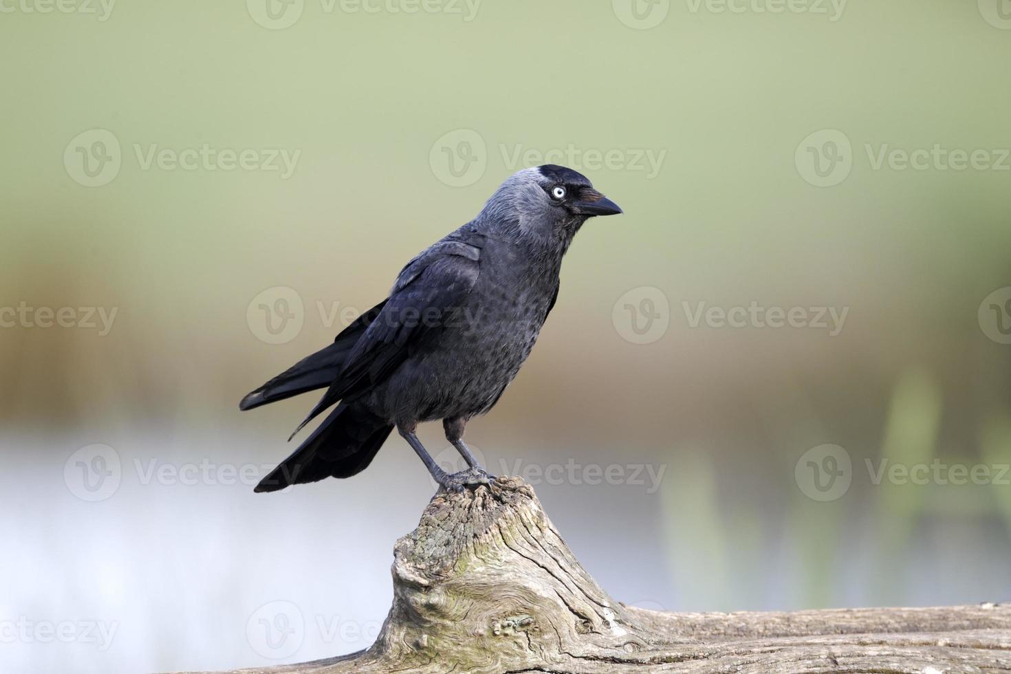 taccola, corvus monedula foto