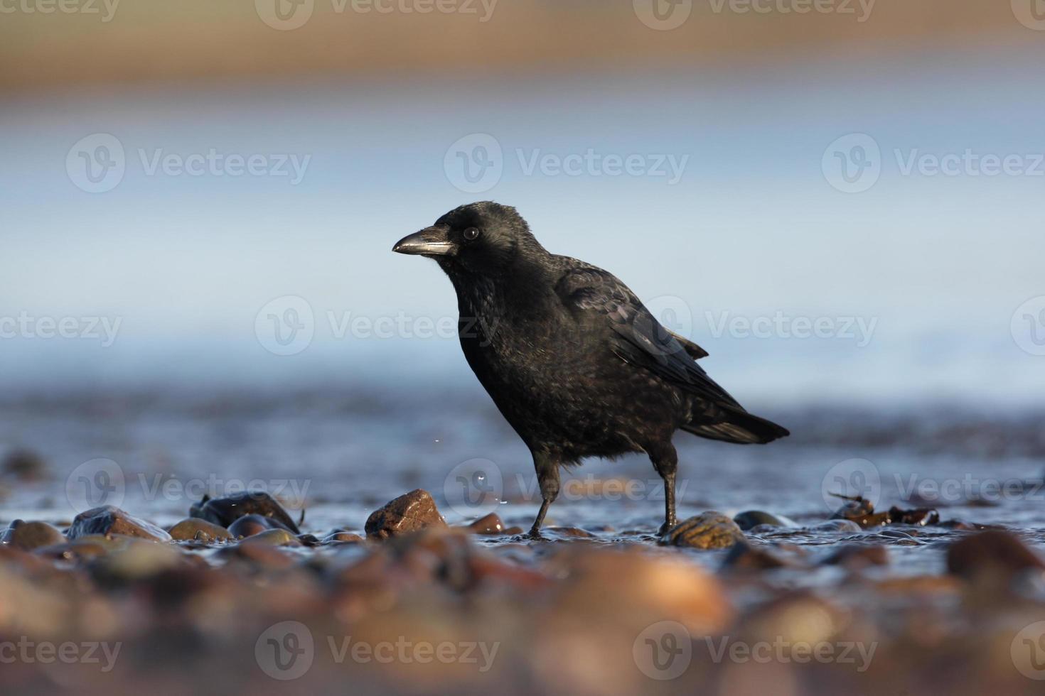 corvo carrion, corvus corone foto