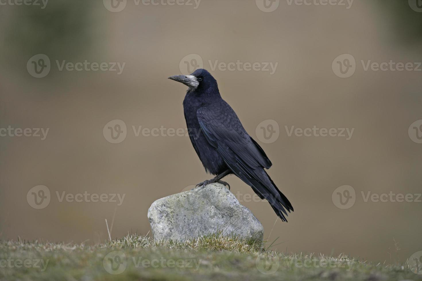 torre, corvus frugilegus, foto