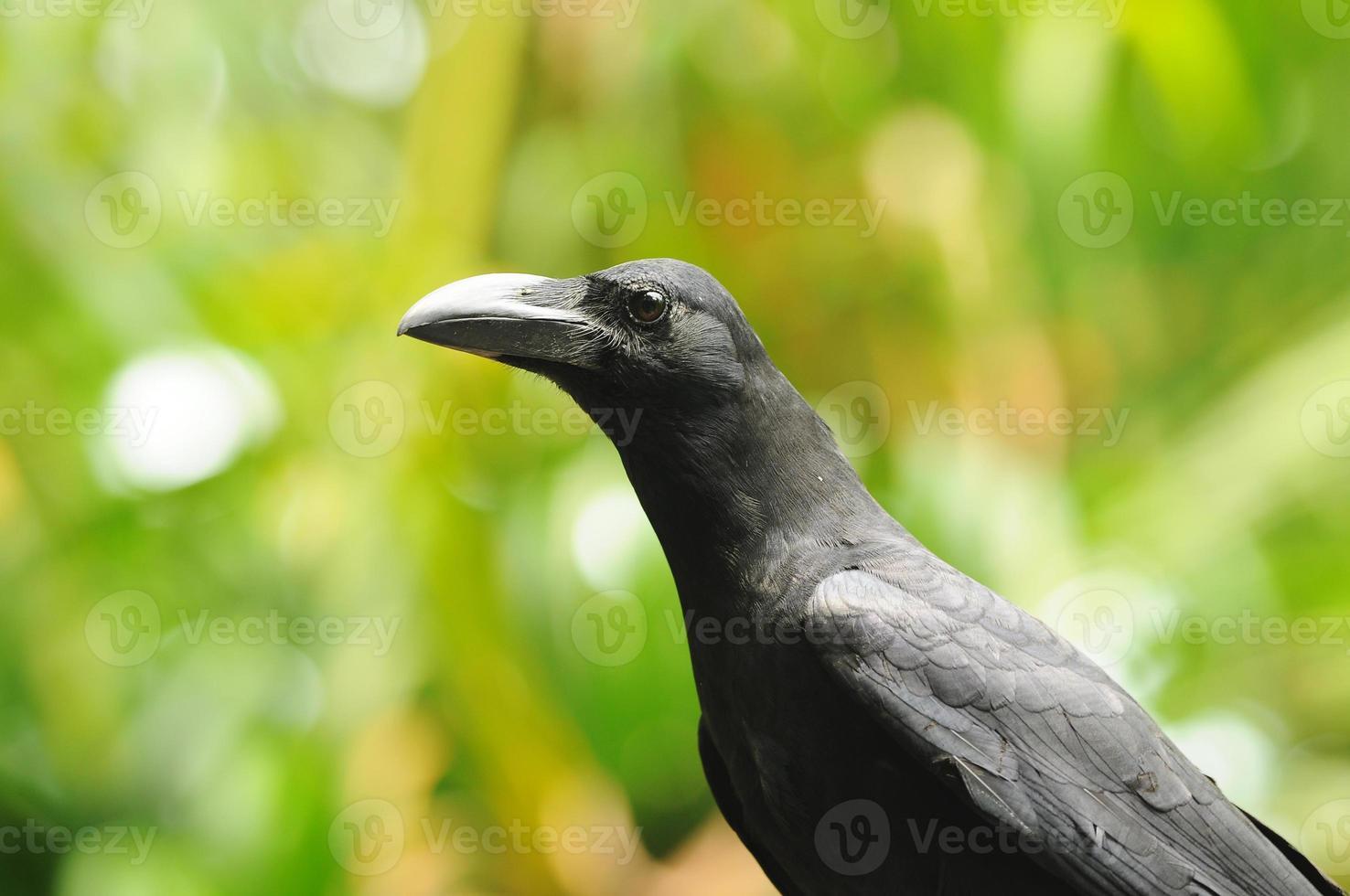 uccello nero (corvo dal becco grosso) foto