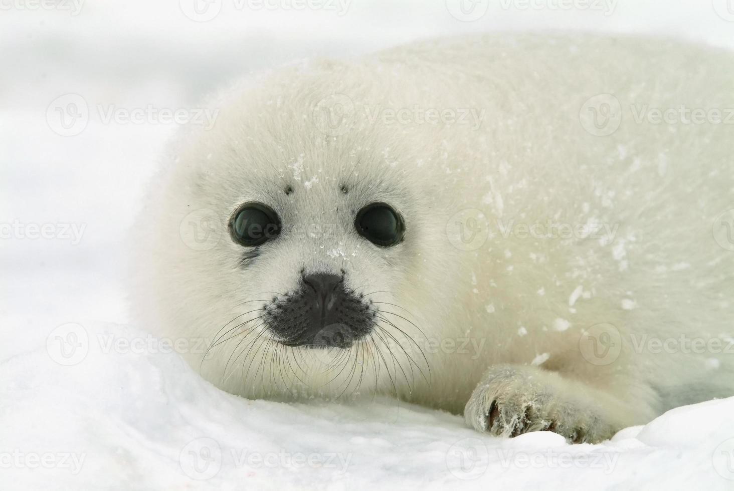 cucciolo di foca arpia sul ghiaccio nell'Atlantico settentrionale foto