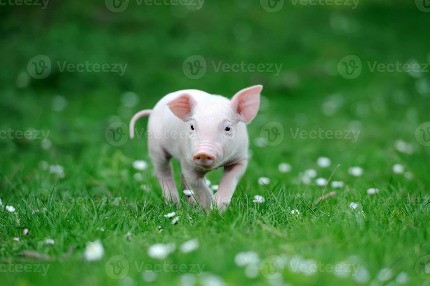 giovane maiale foto