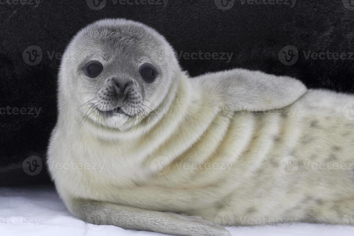 cucciolo di foca di Weddell vicino alla femmina sull'antartico del ghiaccio foto