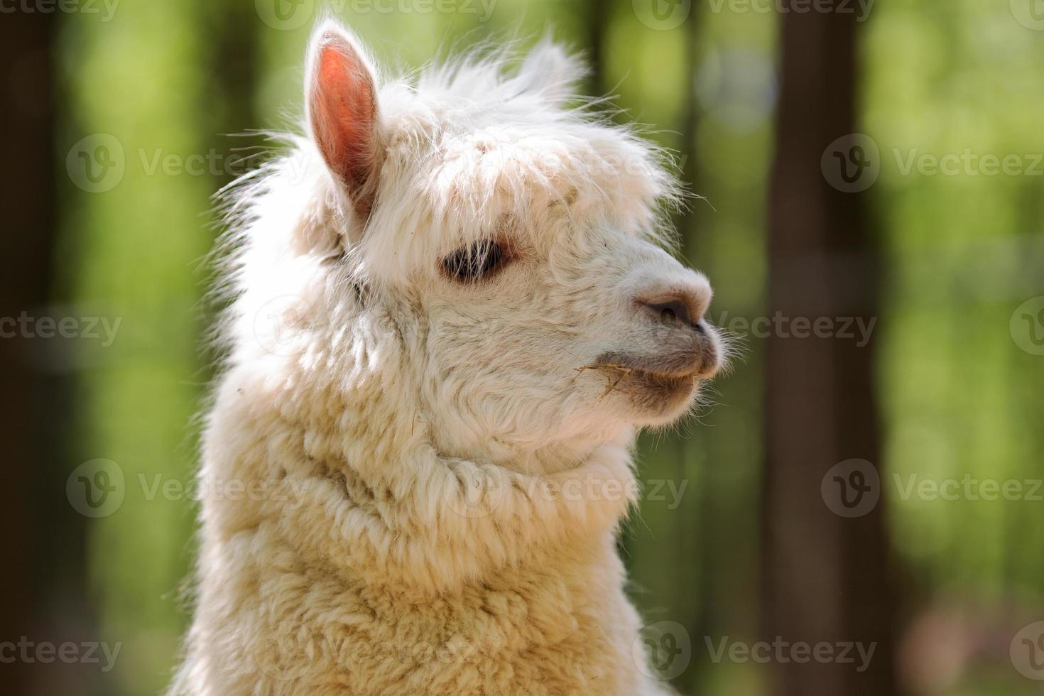 alpaca bianca foto