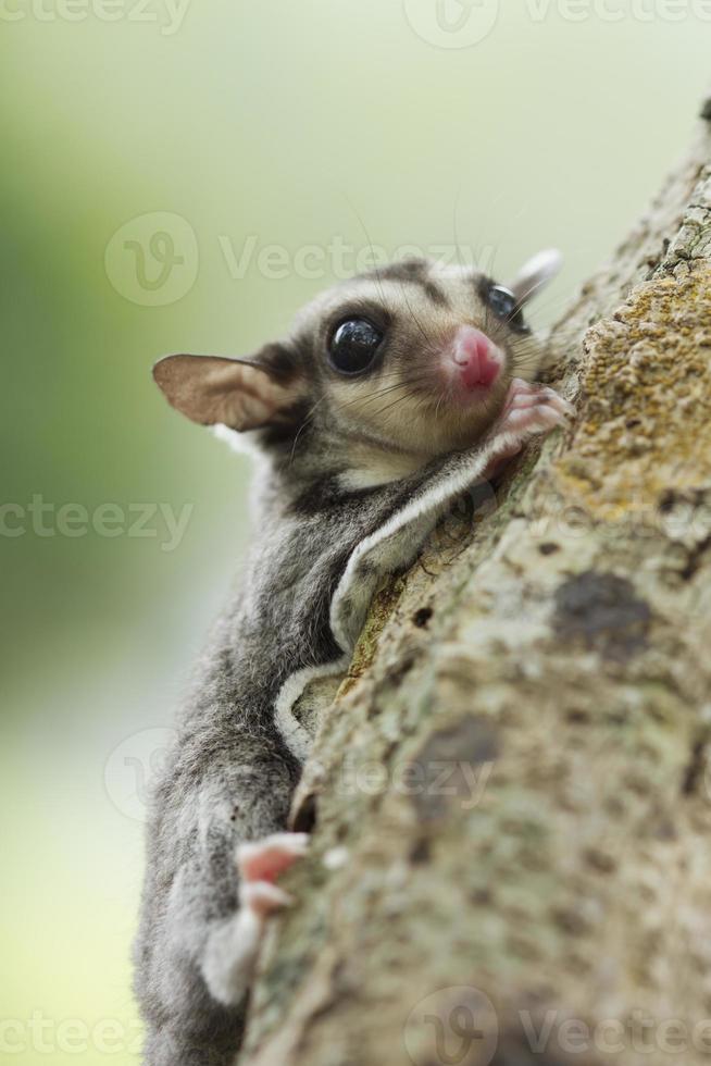 arrampicata sull'albero dello zucchero, foto