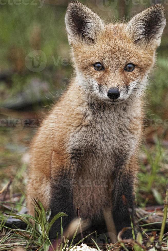 giovane volpe rossa, vulpes vulpes foto