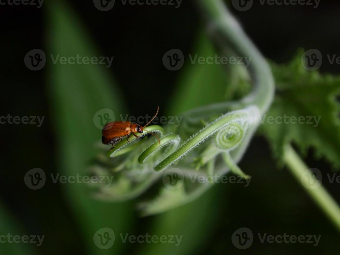scarabeo arancione foto