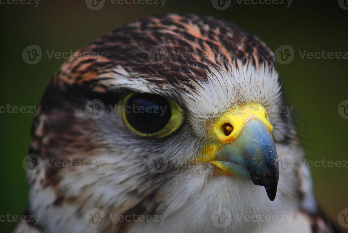 vicino ritratto di un falco di harris foto