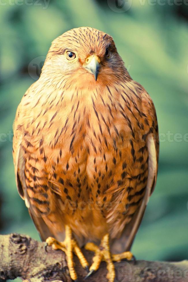 ritratto di uccello gheppio maggiore foto