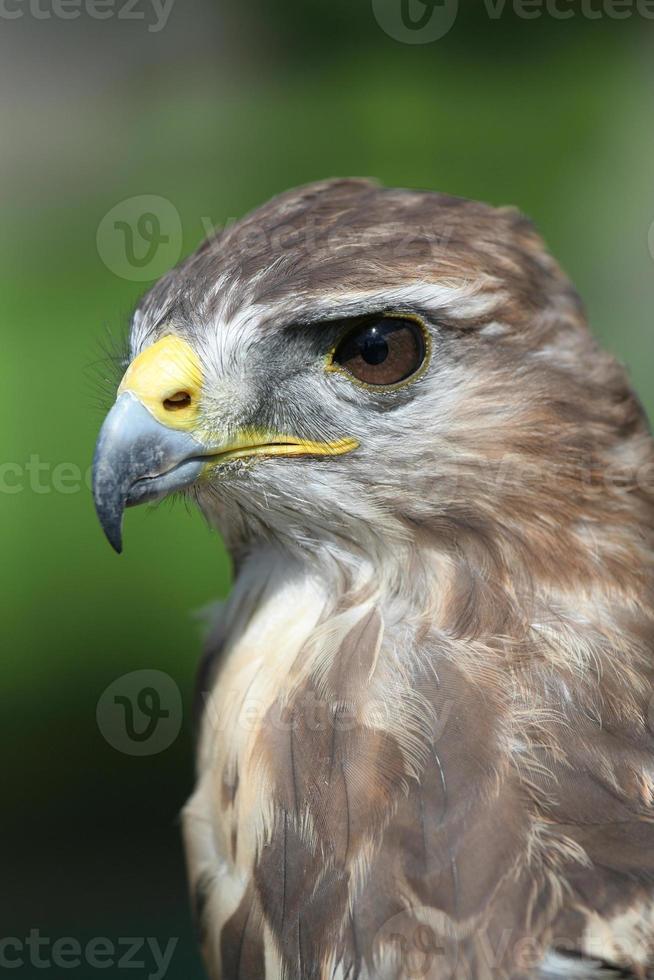 uccello rapace foto