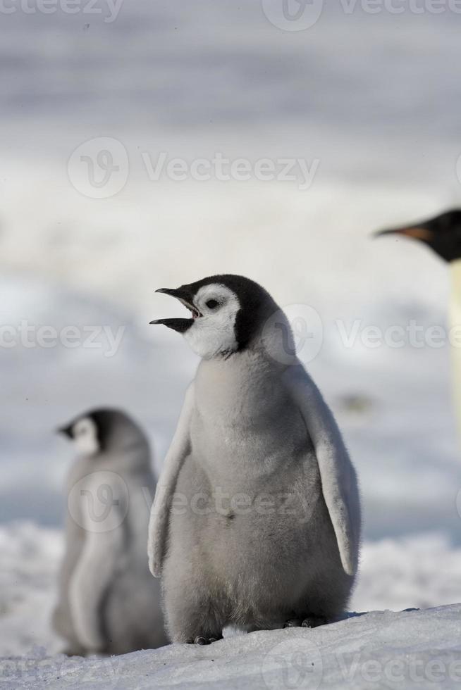 pulcino pinguino imperatore, Antartide foto