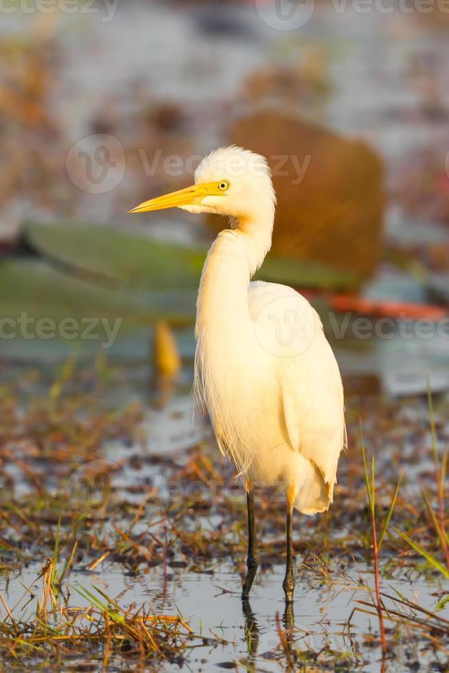 il ritratto dell'egretta intermedia foto