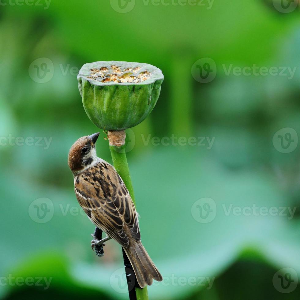 il passero dello stagno di loto foto