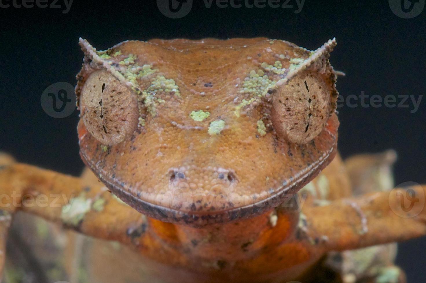 geco satanico a coda di foglia / uroplatus phantasticus foto