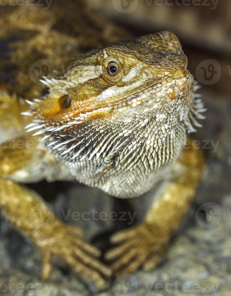 ritratto di un esotico rettili tropicali drago barbuto. selectiv foto