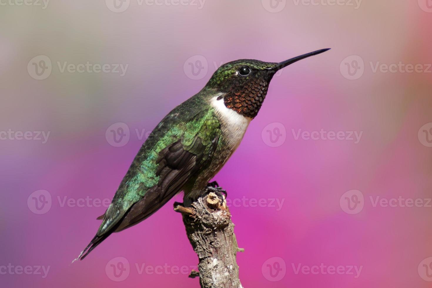 colibrì maschio rubino-throated foto