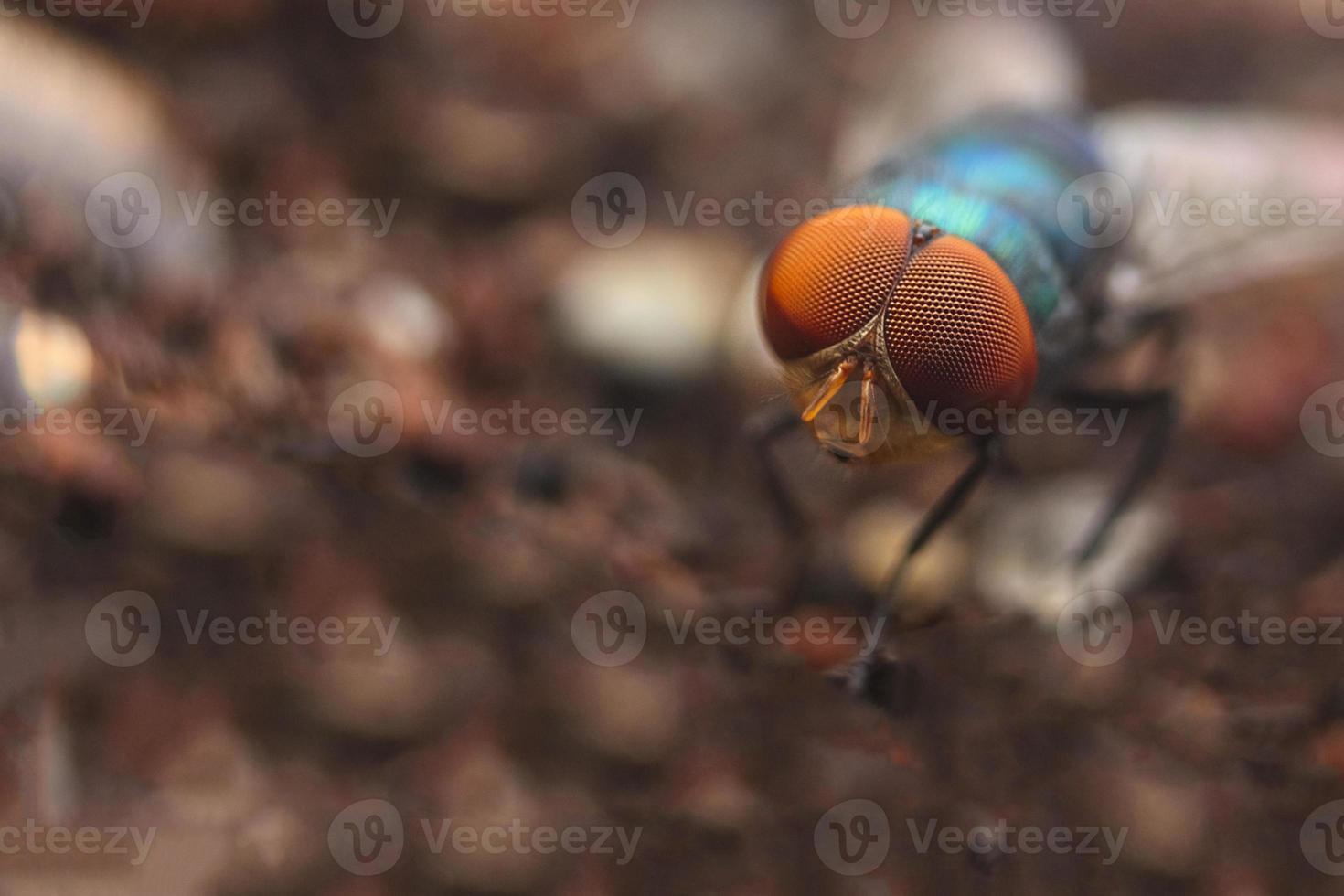la mosca comune (musca domestica) foto