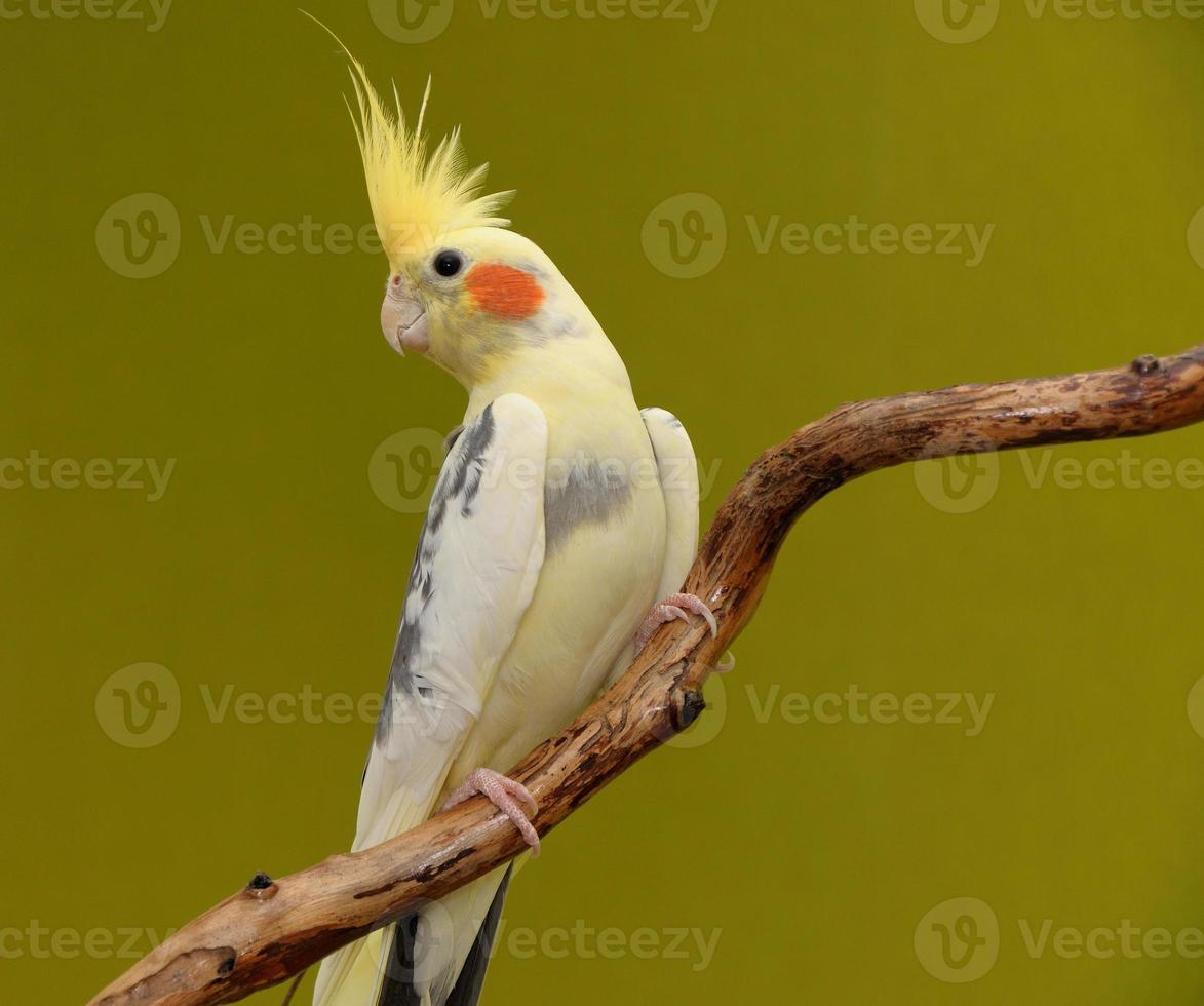 pappagallo di Cockatiel foto