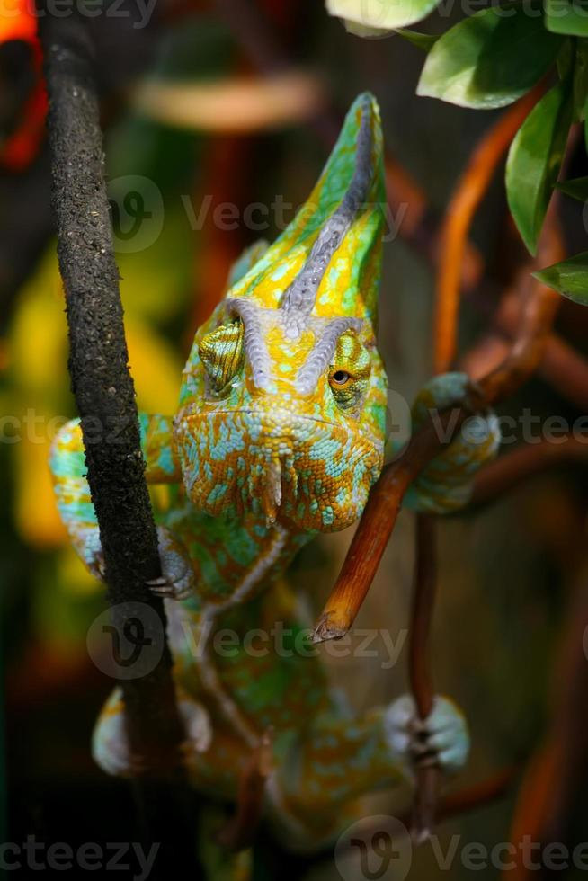 camaleonte divertente su un ramo. foto