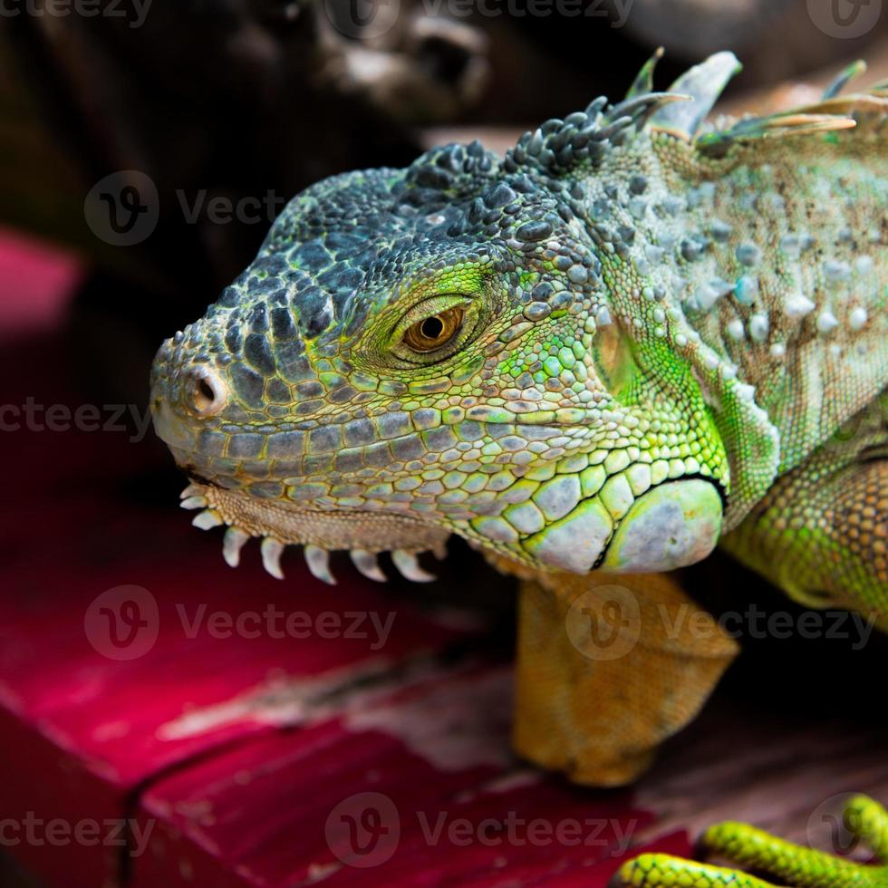 Close-up di iguana verde (iguana iguana) foto