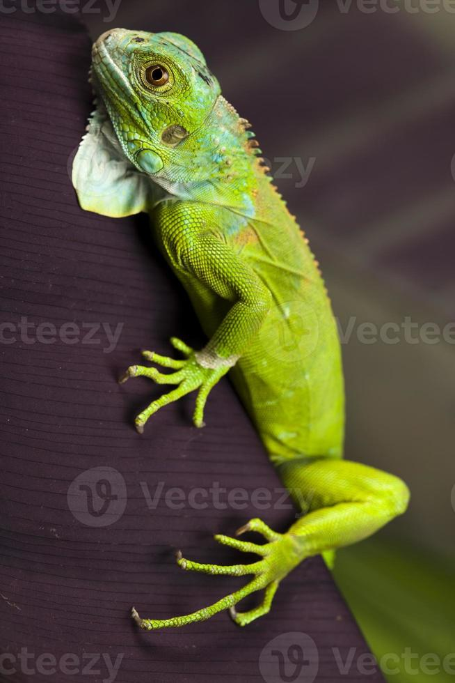 Iguana allo stato brado foto