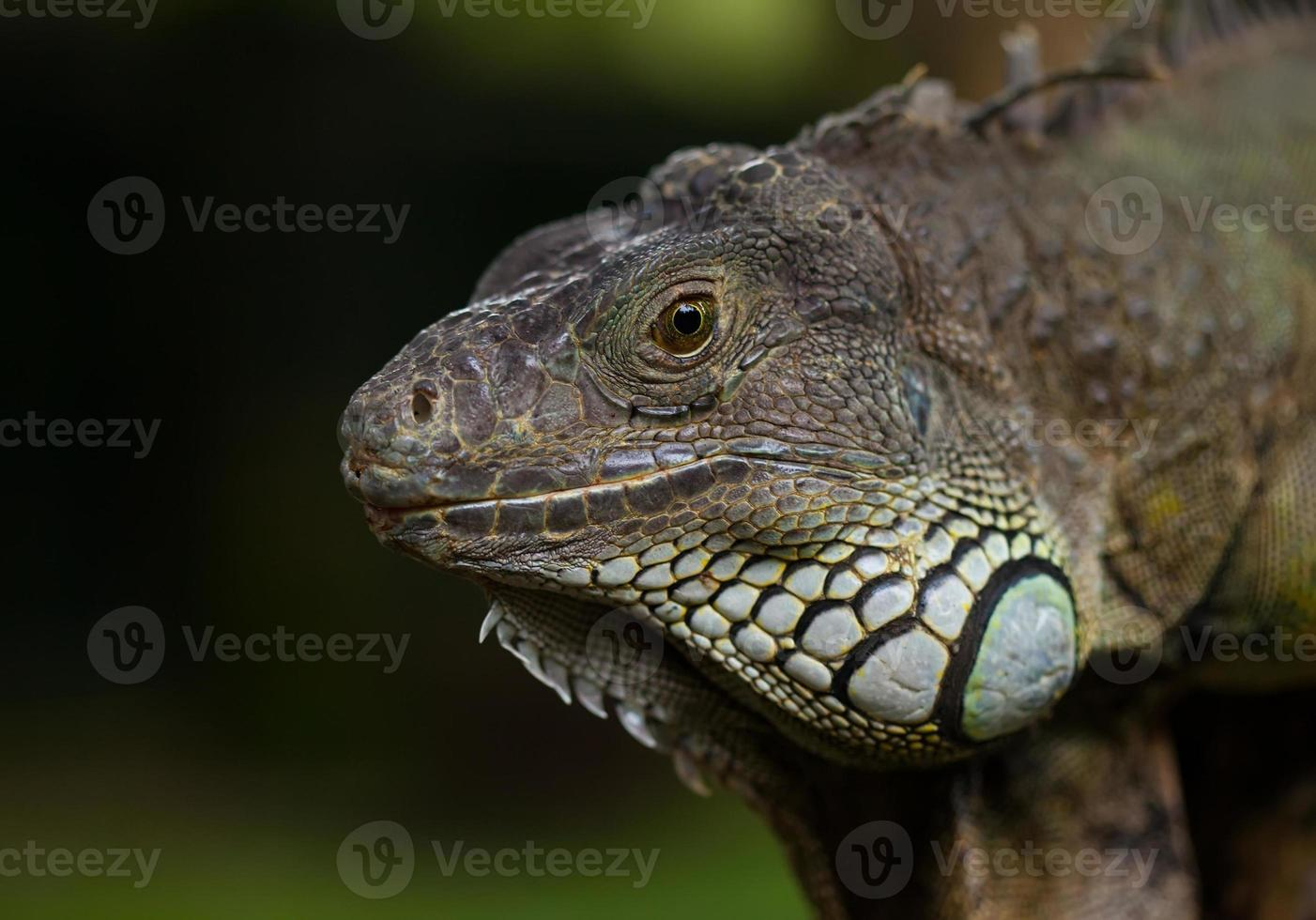 grande iguana foto