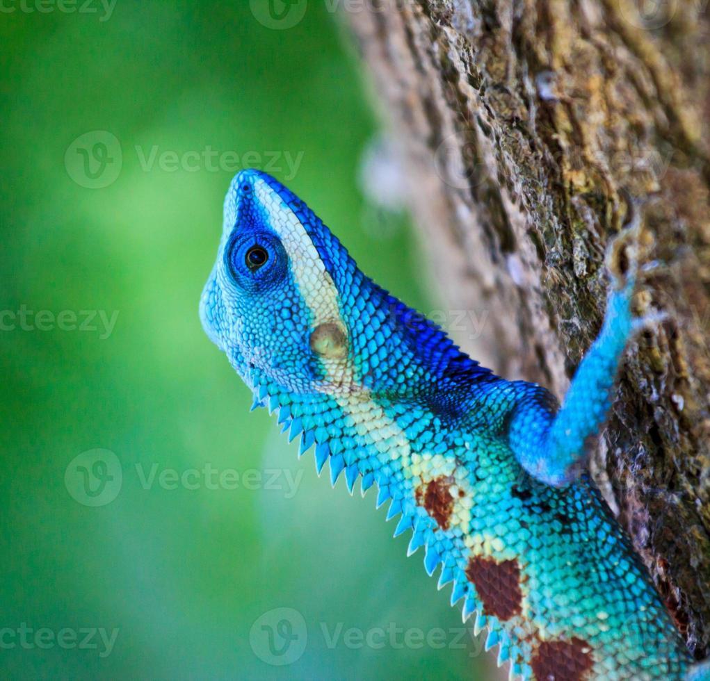 Iguana blu sul ramo di un albero foto